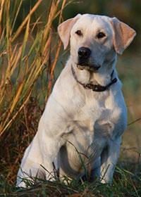 Labrador Retriever Stud Dog